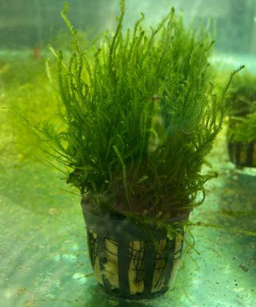 Flame Moss Pot