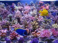 Korallenzucht 80W T5 Fiji Purple