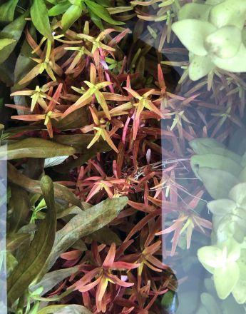 Live plant Hygrophila narrow leaf red
