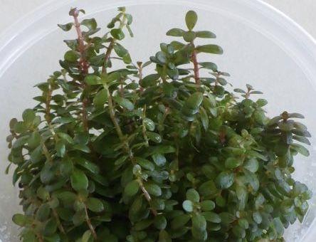 Live plant Rotala colorata bunches.