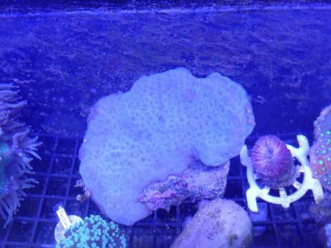 Olive-green Pectinia Coral