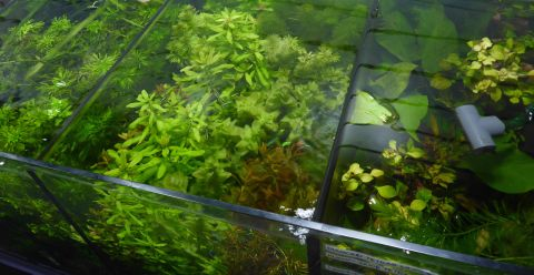 Live plant assorted submerse grown bunches