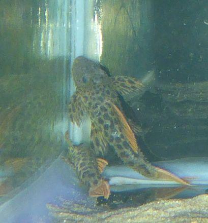 L 600 Catfish (Pseudacanthicus leopardus)