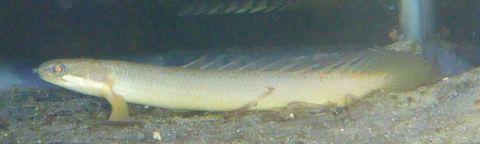 Senegal Birchir (Polypterus senegalus) 10cm