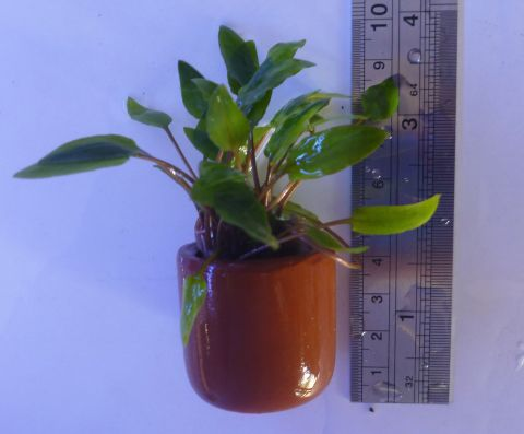 Live plant Small potted Cryptocorynes