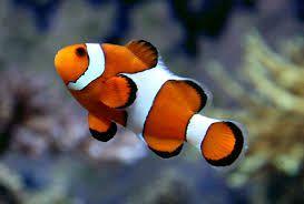 Ocellaris Clownfish 4cm