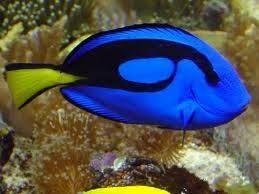 Blue Tang 5cm